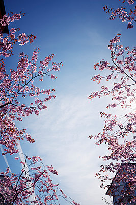 Blossoming branches against blue sky - p312m1187729 by Dan Lepp