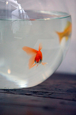 Goldfisch in Kugelglas - p3880803 von L.B. Jeffries