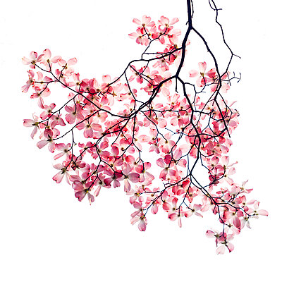 Pink Dogwood Blossoms on Tree Branch against White Background - p694m2097233 by Lori Adams