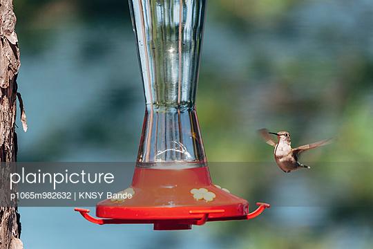 Ein Kolibri am Futterplatz, Chandos Lake, Kanada - p1065m982632 von KNSY Bande
