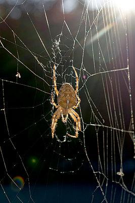 Spinne im Spinnennetz - p451m1502973 von Anja Weber-Decker
