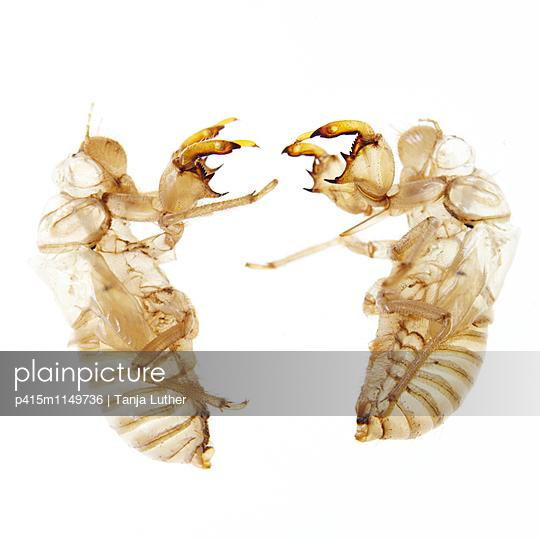 Zikadenhüllen - p415m1149736 von Tanja Luther