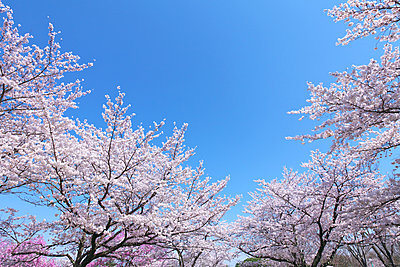 Cherry blossoms in full bloom, Japan - p307m1535060 by Tetsuo Wada