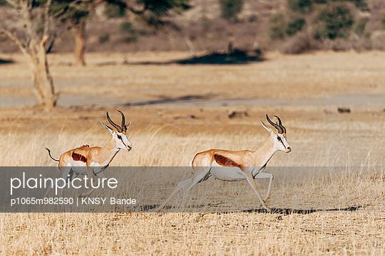 Zwei laufende Springböcke, Kalahari, Afrika - p1065m982590 von KNSY Bande