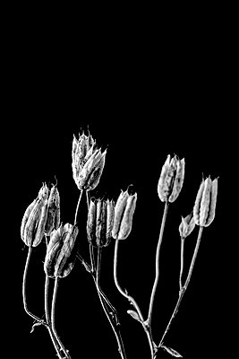 Dried aquilegia seed heads on black background - p1302m2254406 by Richard Nixon