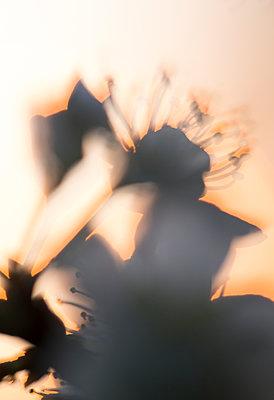 Flowers in backlight - p1682m2260746 by Régine Heintz