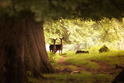 Two deer standing together under a large tree with sunlight illuminating the foliage - p442m884036f by John Short