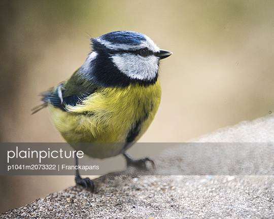 Small blue tit - p1041m2073322 by Franckaparis