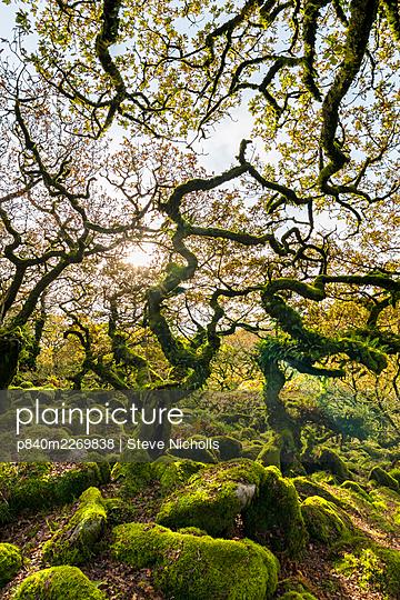 Wistmans Wood, forest of Pedunculate oaks (Quercus robur) on Dartmoor in Devon, England, UK, November. - p840m2269838 by Steve Nicholls