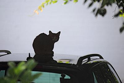 Katze auf dem Autodach - p1016m2065335 von Jochen Knobloch