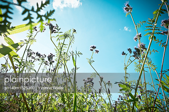 Acker mit Bienenweide, Phacelia - p1149m1525360 von Yvonne Röder