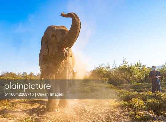 elephant throwing up dirt at animal sanctuary in the golden triangle - p1166m2269716 by Cavan Images