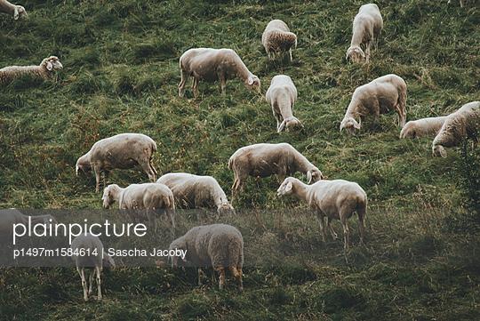 Schafe auf Wiese  - p1497m1584614 von Sascha Jacoby