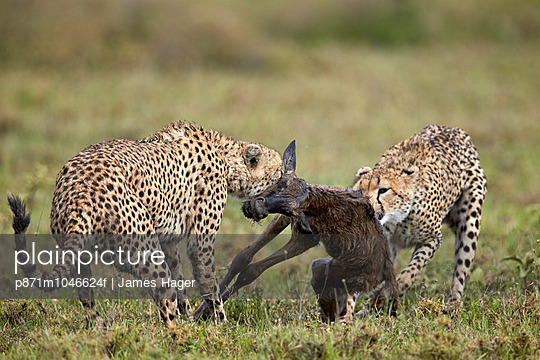 Two male cheetah  killing a new born blue wildebeest   calf, Ngorongoro Conservation Area, Serengeti, Tanzania, East Africa, Africa - p871m1046624f by James Hager