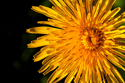 Macro close-up of wild dandelion flower from above against dark background - p1047m2283241 by Sally Mundy