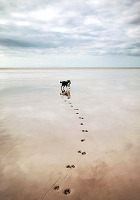 Dog on the beach - p382m2053108 by Anna Matzen