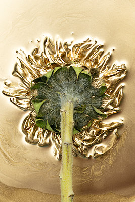 Sunflower painted in gold - p919m2195655 by Beowulf Sheehan
