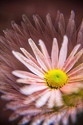 Pink Chrysanthemum Mums Flower Macro closeup with prism effect - p1166m2224113 by Cavan Images