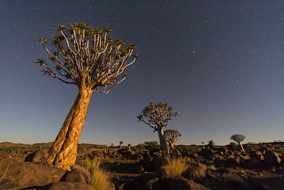 Africa, Namibia, Keetmanshoop, Quiver Tree Forest and starry sky at night - p300m2024160 by Fotofeeling