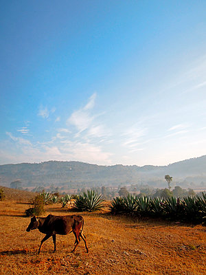 Rind in Myanmar - p1189m1059685 von Adnan Arnaout