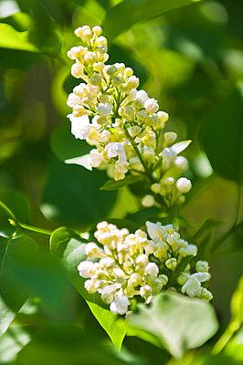 Lilac abloom - p1418m1572310 by Jan Håkan Dahlström