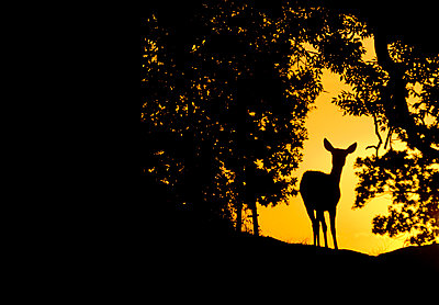 Single Male Red Deer hind Silhouetted in early - p1424m1501334 by James Silverthorne
