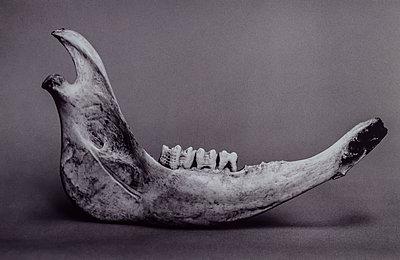 Animal bone, jaw bone  - p1082m2288032 by Daniel Allan