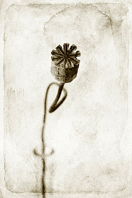 Poppy seed head - p470m886201 by Ingrid Michel