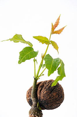 Walnut seedling - p470m934085 by Ingrid Michel