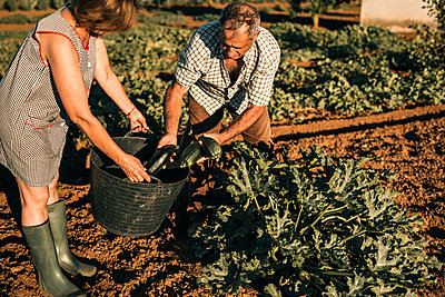 Senior couple collecting vegetables in basket while harvesting on sunny day - p300m2293544 by LUPE RODRIGUEZ