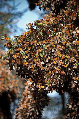 Monarch Butterflies on Branch - p6943877 by Sean McCormick