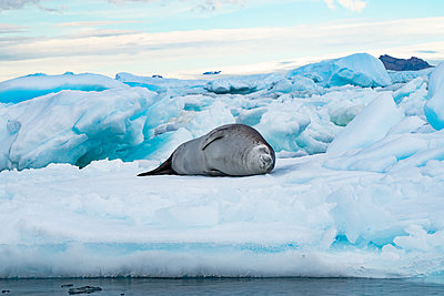 Crabeater Seal (Lobodon carcinophaga) lying on an iceberg in Antarctica. - p924m2186231 by PhotoStock-Israel
