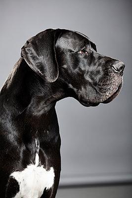 Portrait of mastiff - p1305m1138648 by Hammerbacher