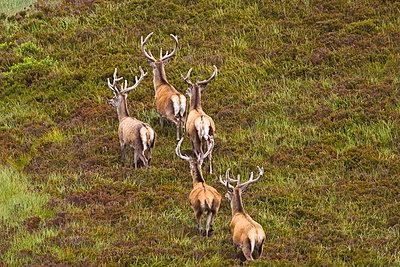 Red Deer - p871m884424 by Tim Graham