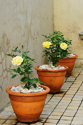 Yellow roses planted in terracotta pots - p1183m997674 by Great Stock
