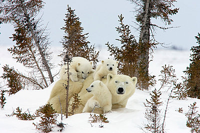 Polar Bear trio of three month old cubs and mother among white spruce - p884m864572 by Matthias Breiter