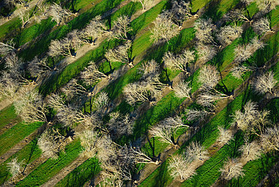 Agriculture - Aerial view of an almond orchard in Winter in which nearly every tree has been blown over by heavy winds after heavy rain. This orchard is a complete loss / near Chico, California, USA. - p442m905829 by Philip Wallick