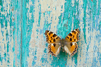 Butterfly on flaking turquoise wood - p300m2079287 by Claudia Rehm