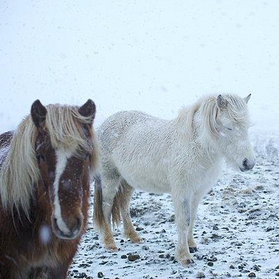 Islandponys im Schneegestöber - p606m960662 von Iris Friedrich