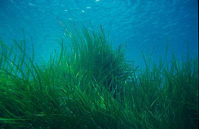 Unterwasserpflanze - p9793510 von Wichmann