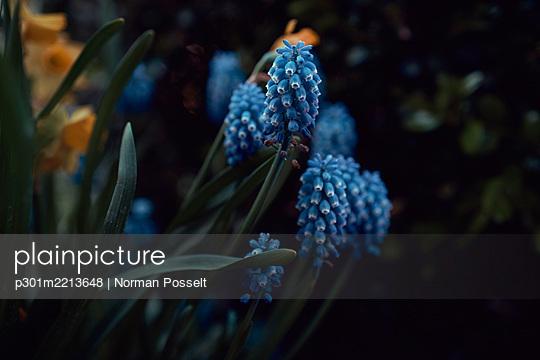 Blue grape hyacinth - p301m2213648 by Norman Posselt