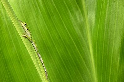 Hawaiian Green Lizard - p1166m2111583 by Cavan Images