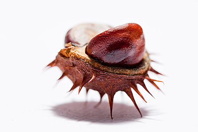Chestnut in shell - p570m907595 by Elke Röbken