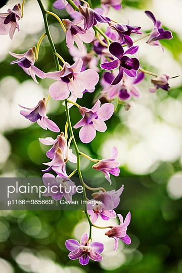 Close-up orchid flowers on stem - p1166m985669f by Cavan Images