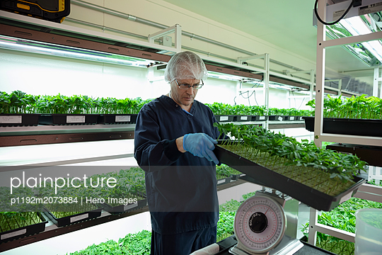 Grower inspecting and weighing cannabis seedlings in incubation - p1192m2073884 by Hero Images