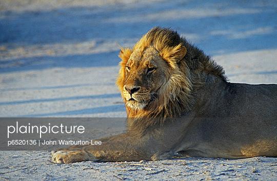 Lioness - p6520136 by John Warburton-Lee