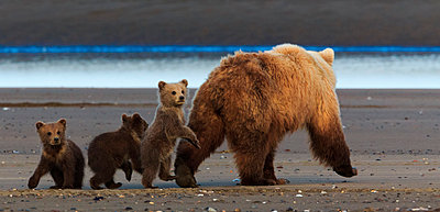 Brown bear sow and cubs - p1100m887865f by Art Wolfe