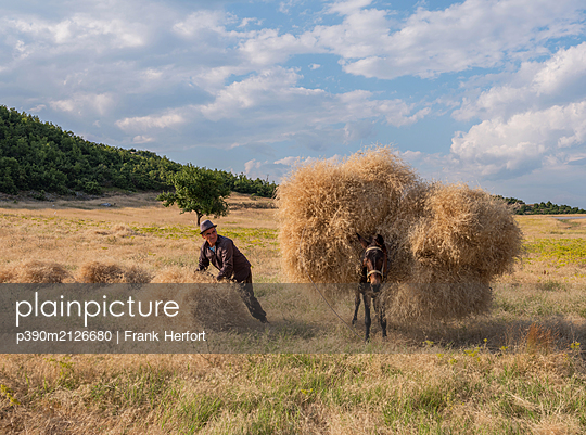 Peasant and donkey gathering hay together in a field - p390m2126680 by Frank Herfort