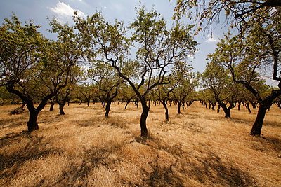 Almond tree - p1028m893644 by Jean Marmeisse