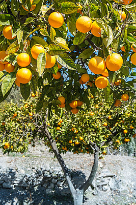 Orange tree - p1093m855331 by Sven Hagolani